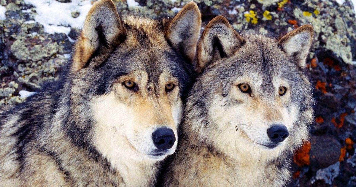 Codice dei contratti: Il lupo perde il pelo ma non il vizio.