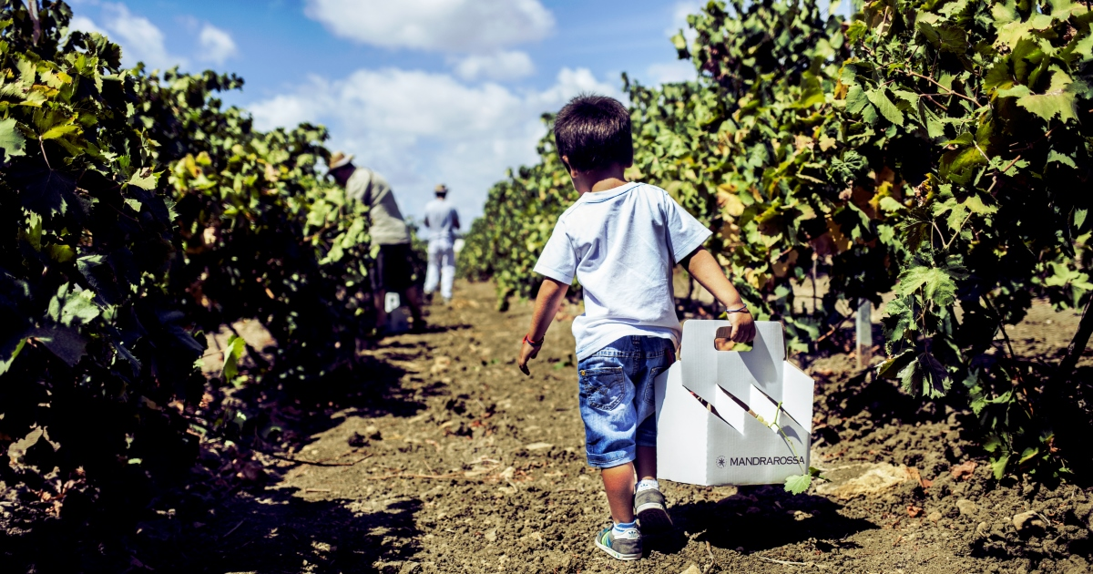 Mandrarossa vineyard tour 2016: A Menfi la vendemmia più grande d'Europa